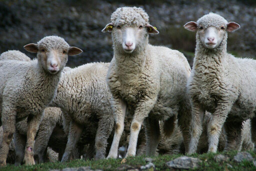 Brebis mouton