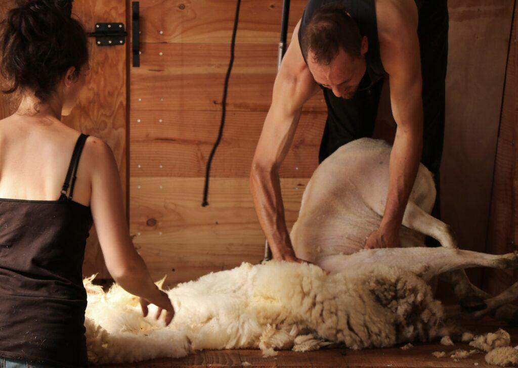 Tonte Mouton France